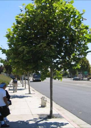 Photo of a Street Tree